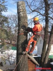Видео: обрезка деревьев